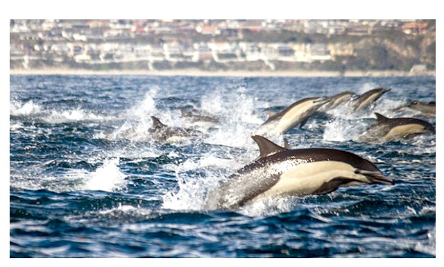 Понад 100 тисяч дельфінів біля берегів Сан-Дієго (відео): Як розповідає вражений моряк, вони пливли серед тварин кілька годин, і ті навіть не думали розпадатися на дрібніші групи.