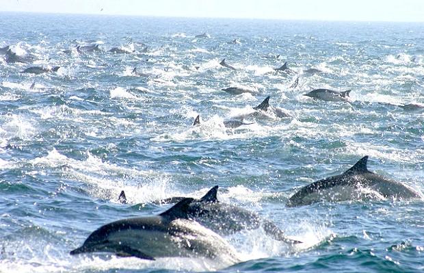 Понад 100 тисяч дельфінів біля берегів Сан-Дієго (відео): Джо капітан човна, яка влаштовує туристам морські прогулянки. Під час такої прогулянки він і люди на борту його судна стали очевидцями