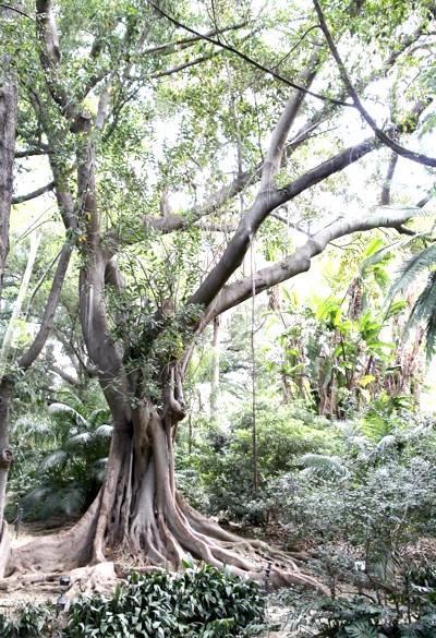Ботанічний сад Малаги: Такий росте у вас вдома в горщику. Фікус називається.