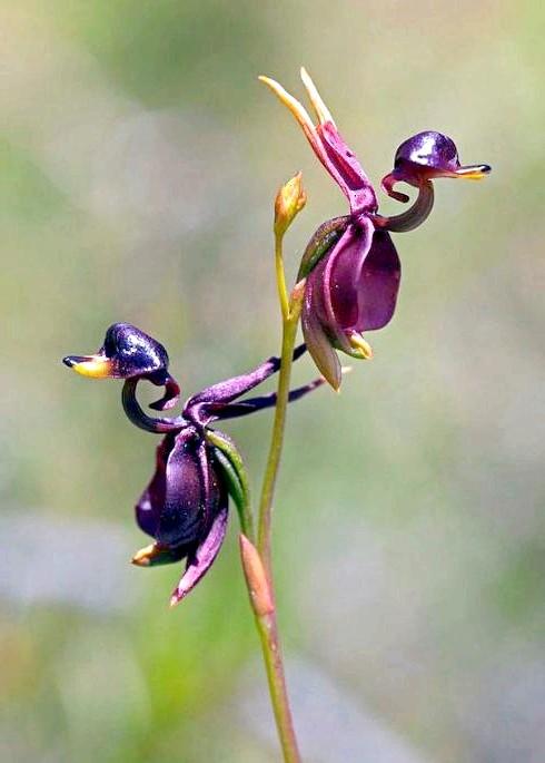 Квіти, які виглядають як щось інше: Орхідея