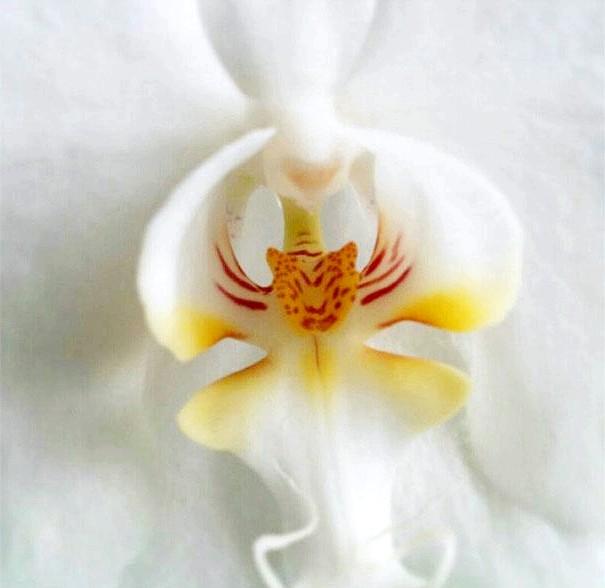 Квіти, які виглядають як щось інше: Орхідея, яка виглядає як тигр