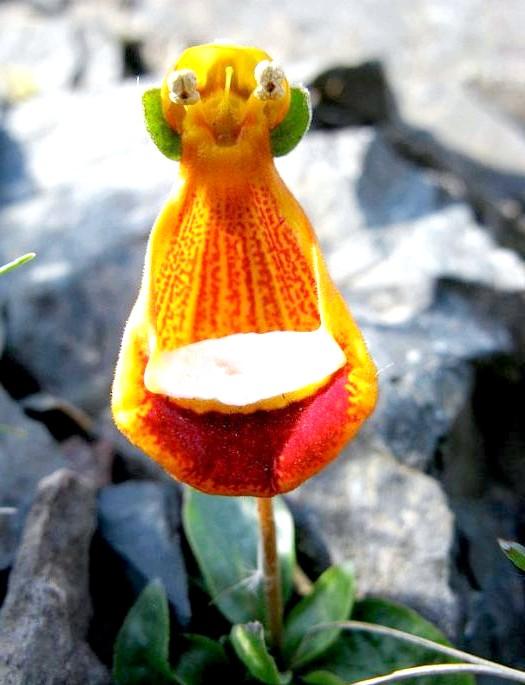 Квіти, які виглядають як щось інше: Щасливий інопланетянин (Calceolaria Uniflora)