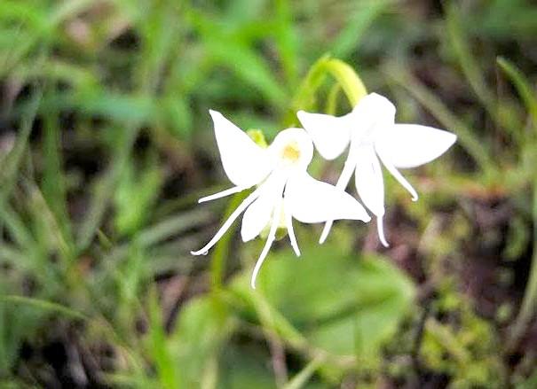 Квіти, які виглядають як щось інше: Ангелочки (Habenaria Grandifloriformis)