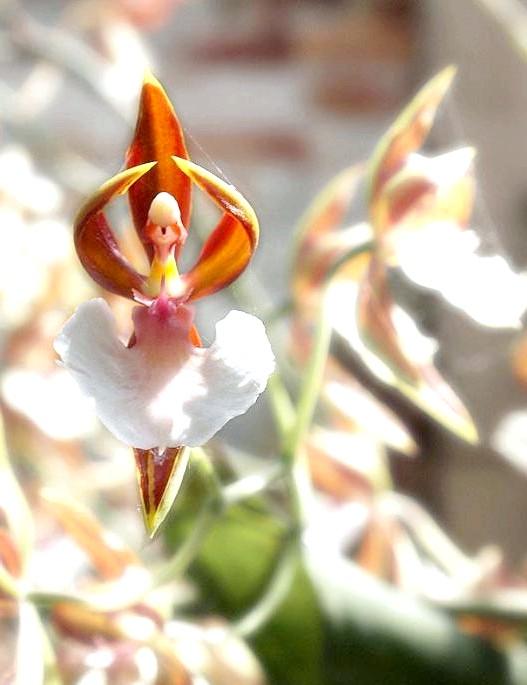 Квіти, які виглядають як щось інше: Орхідея, яка виглядає як балерина