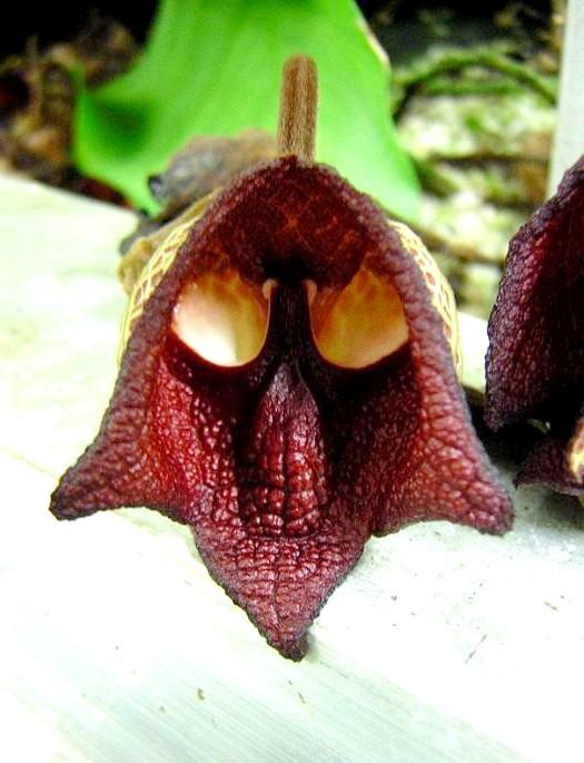 Квіти, які виглядають як щось інше: Дарт Вейдер (Aristolochia Salvadorensis)