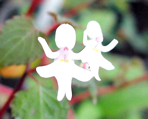Квіти, які виглядають як щось інше: Танцюючі дівчата (Impatiens Bequaertii)