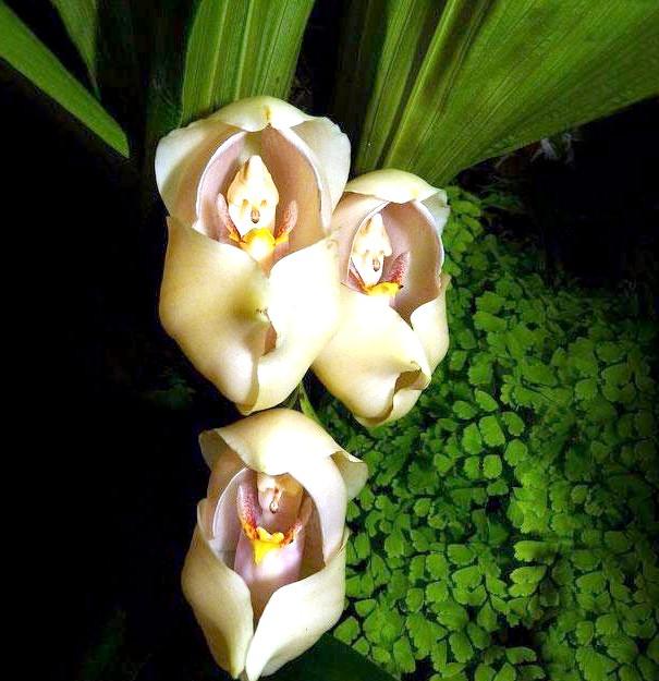 Квіти, які виглядають як щось інше: Запеленованние діти (Anguloa Uniflora)