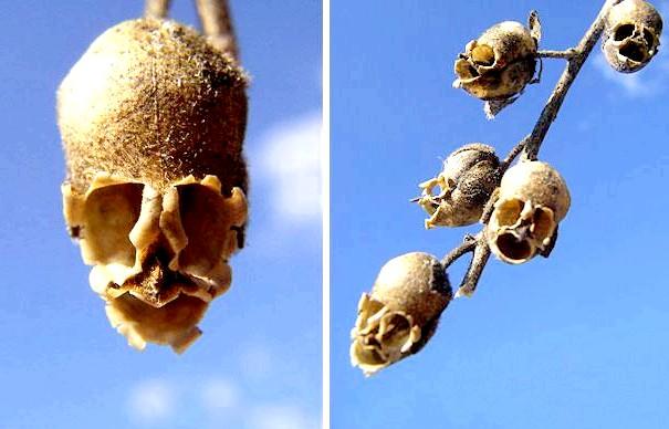 Квіти, які виглядають як щось інше: Сім'янка Левового зіву (Antirrhinum)