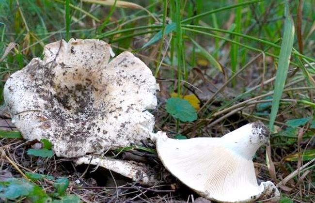 Десятка найкращих лісових грибів: 3 місце. Груздь настоящій.Груздь справжній - їстівний гриб 1-ї категорії. Має білу слизову капелюшок (до 20