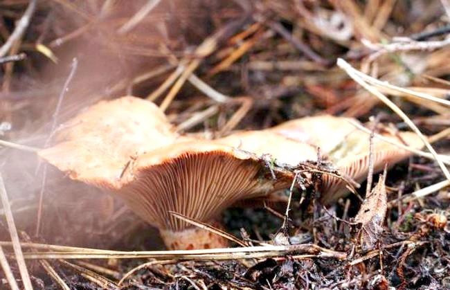 Десятка найкращих лісових грибів: 2 місце. Рижик настоящій.Рижік справжній - їстівний гриб 1-ї категорії. Має помаранчеву або світло-руду капелюшок лійкоподібної