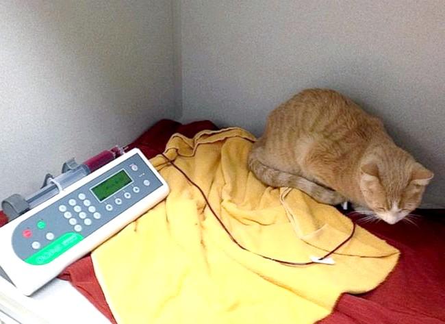 Для порятунку життя коту перелили кров собаки: Під час переливання організм тварини не продемонстрував відторгнення крові, і після операції стан залишався стабільним. Зараз кіт відчуває себе прекрасно