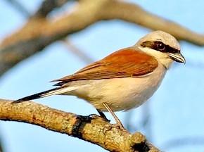 Голоси птахів у музиці