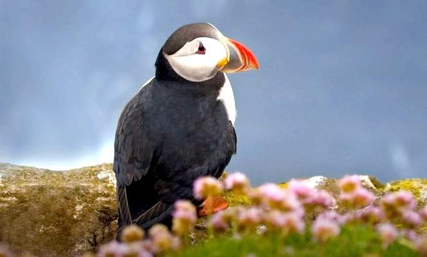 Цікаві факти про атлантичному глухому куті: Турбота за пташеням триває недовго, трохи більше місяця. А потім ще не вміє літати пташеня кидають і відлітають в океан.