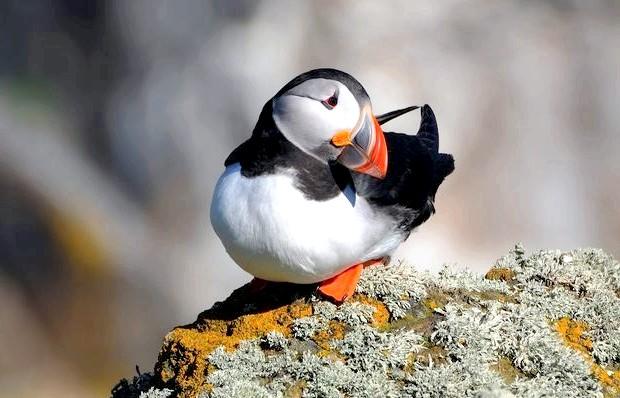 Цікаві факти про атлантичному глухому куті: Найбільшим ворогом для атлантичного глухого кута, є велика морська чайка, яка не тільки розоряє гнізда, але і нападає на ще