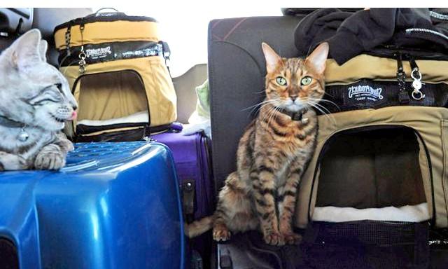 Як перевозити домашня тварина: Правила провезення домашніх жівотнихКаждий вид транспорту передбачає свій звід правил транспортування домашніх тварин, проте є й