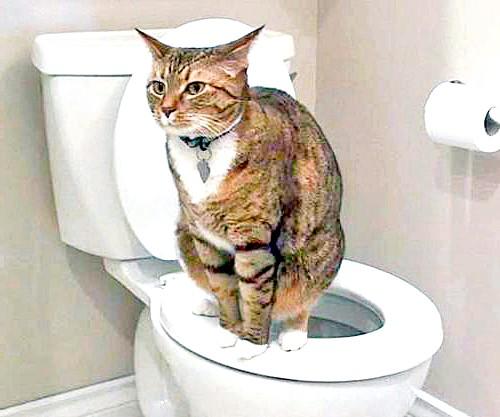 Як привчити кішку ходити на унітаз ?: 16-й день. Коробка ставиться на стульчак і за допомогою липкої стрічки надійно прикріплюється до унітазу. Важливо, щоб ємність не зміщувати