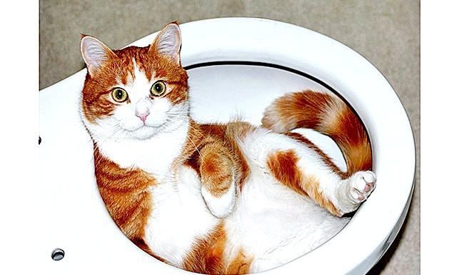 Як привчити кішку ходити на унітаз ?: Якщо, проте, при навчанні за стандартним методом ваша кицька почне чинити опір, потрібно скористатися альтернативним методом, при якому потрібно запасне (вільний)