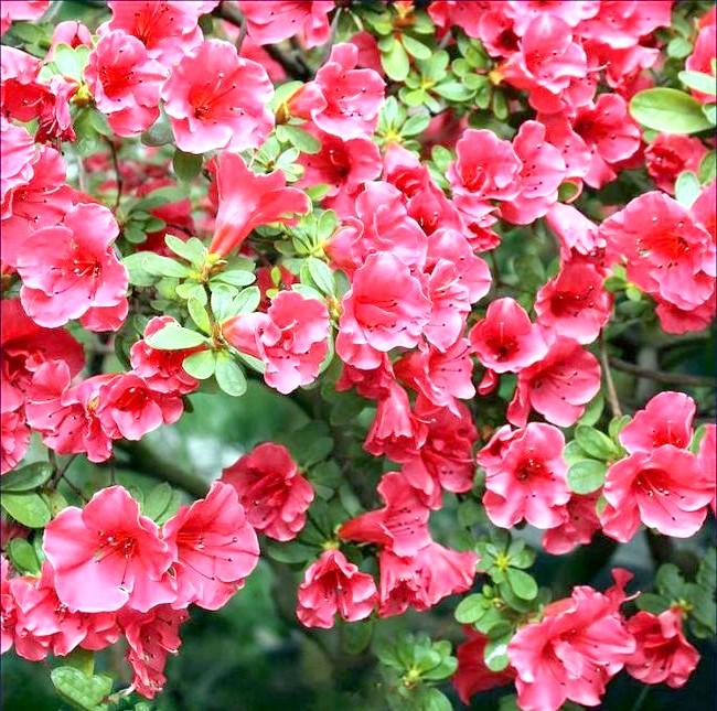 Як доглядати за азалій: [i] Нехе (Rhododendron) [/ i]