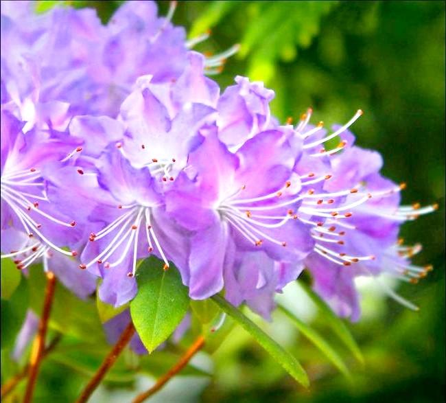 Як доглядати за азалій: [i] Адвентглокхен (Rhododendron ramapo) [/ i] Як вибрати відповідний температурний режим і освітлення для азалії? Азалія любить