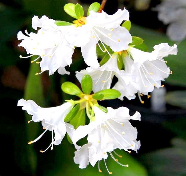 Як доглядати за азалій: [i] Вайсе Шеме (Rhododendron vaseyi) [/ i] [i] Поради по догляду: [/ i] 1. Якщо в кімнаті буде занадто низька