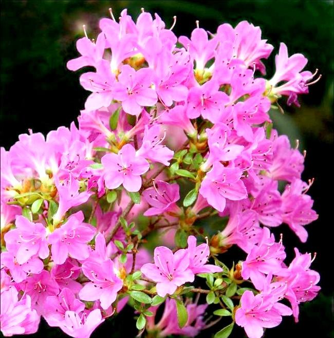 Як доглядати за азалій: [i] Ензетт Дагмар (Rhododendron «Enzett Dagmar») [/ i] Як пересаджувати азалію? Склад нового грунту повинен бути ідентичний