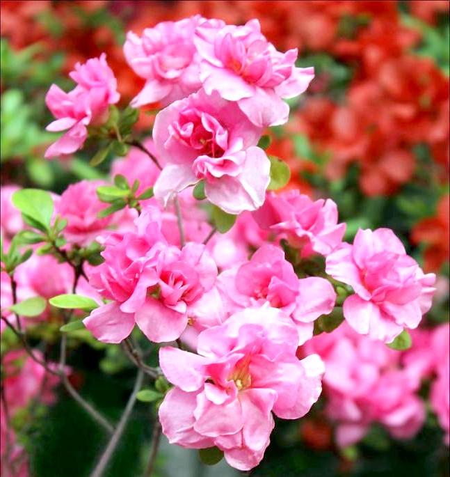 Як доглядати за азалій: [i] Атена (Rhododendron «Atena») [/ i] Як розмножити азалію? Розмноження азалії - це дуже копітка завдання, розмножують
