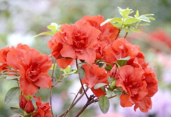 Як доглядати за азалій: [i] Аполло ('Apollo') [/ i] Існує величезна кількість видів і кольорів азалій: червоні, білі, рожеві, бузкові, двоколірні. Відомо більше 350