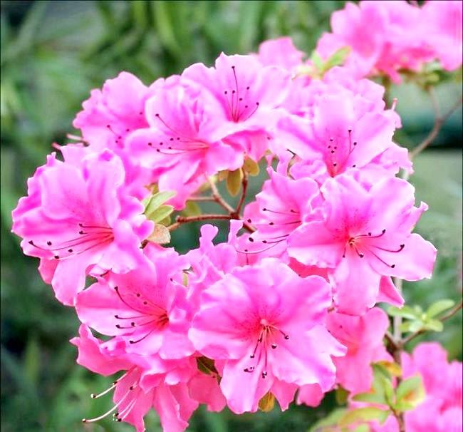 Як доглядати за азалій: [i] Концінна (Rhododendron «Concinna») [/ i]