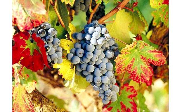 Як піклуватися про ягідних культурах у вересні ?: Вересень - час збору винограду. У цей період його закладають на зберігання і переробляють на соки та вино. На пізніх