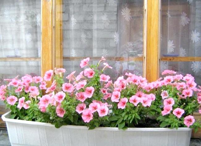 Які квіти посадити у квітнику за вікном: 1. ПетуніяУход за петунією досить простий, а сама рослина вельми невибаглива, саме тому його вважають