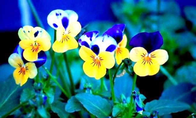 Які квіти посадити у квітнику за вікном: 2. Анютіни глазкіЕще один підходящий варіант для висадки в контейнер за вікном - братки. Вони