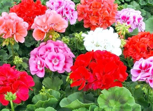 Які квіти посадити у квітнику за вікном: 3. ПеларгоніяПеларгоніі відмінно розвиваються на підвіконнях східної і західної орієнтації, а з південного боку їх