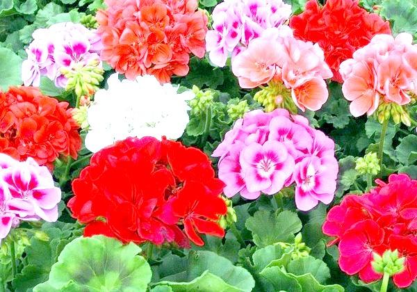 Які квіти посадити у квітнику за вікном: 4. АгератумЕдінственная примха даного квітки - яскраве освітлення. Цей багаторічник зберігає свій привабливий вигляд виключно на
