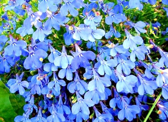 Які квіти посадити у квітнику за вікном: 5. ЛобеліяЛобеліі бувають блакитні, сині, рожеві та білі - вибір величезний, так що підібрати те, що