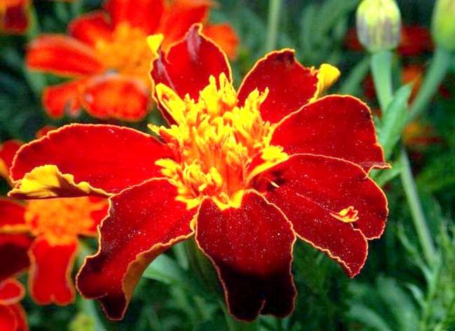 Які квіти посадити у квітнику за вікном: 6. ЧернобрівциЯрко-оранжеві квітки нікого не залишать байдужими. Крім зовнішньої «яскравості», ця квітка легко уживається з іншими