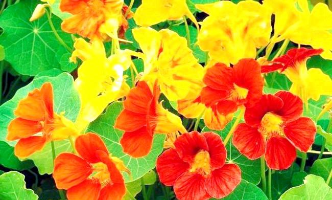 Які квіти посадити у квітнику за вікном: 7. НастурціяПрі належному догляді настурція починає цвісти приблизно через півтора місяці після того, як з'являються сходи.