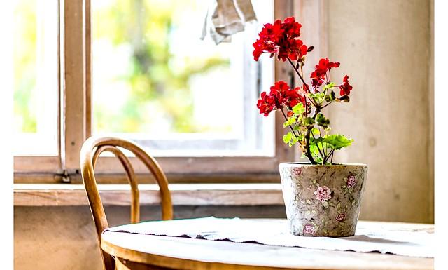 Які кімнатні квіти негативно впливають на людину ?: