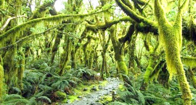 Краса Новій Зеландії: Ліс в трекинговая парку Milford Track.