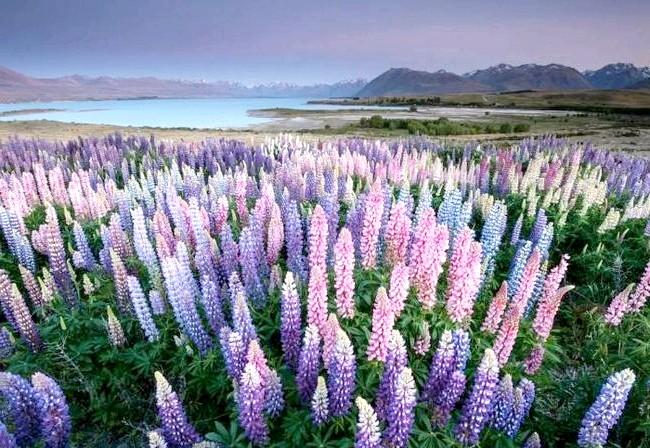 Краса Новій Зеландії: Цвітіння люпин на озері Текапо.