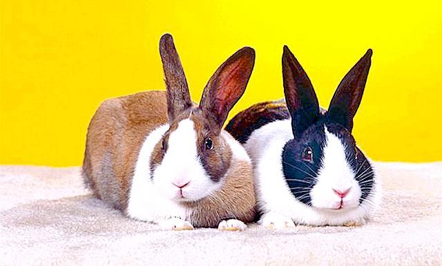 Кролик приймає душ: На відеозаписі видно, що домашньому вихованцеві подобається купатися. Тварина лежить лапами догори, витягнувшись на весь рост.Кролік