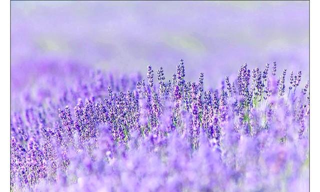 Кримський Прованс, або цвітіння лаванди в Криму: На відміну від минулого року, цього року лаванда зацвіла чітко в строк, як і завжди. Навідуючись по шляху до