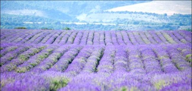 Кримський Прованс, або цвітіння лаванди в Криму: Уходящие вдалину фіолетові дреди.