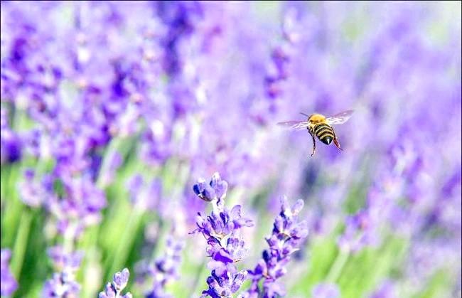 Кримський Прованс, або цвітіння лаванди в Криму: Фіолетовий аромат.