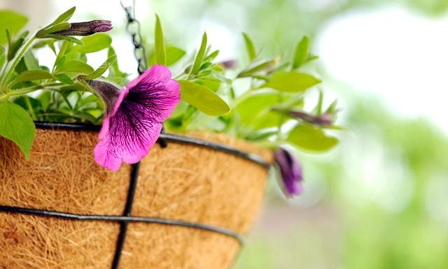 Літній фреш: як оформити дачну ділянку ?: петунії часто прикрашають квітники, балкони та клумби. Ця квітка не тільки прекрасний, але і не вимогливий у догляді. Посадити і