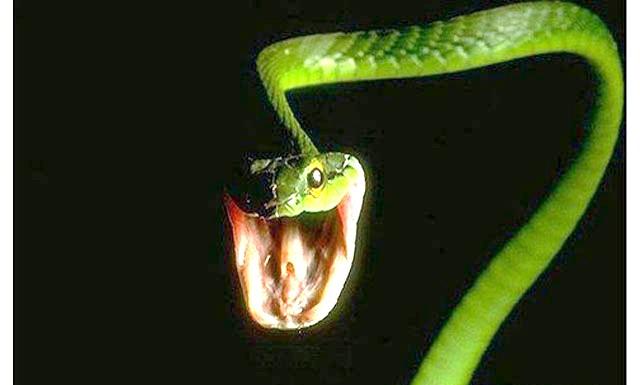 Маринована змія вкусила китаянку: Дівчина на ім'я Лю з міста Шуанчен купила живу змію для створення на її основі настойки, як часто роблять жителі