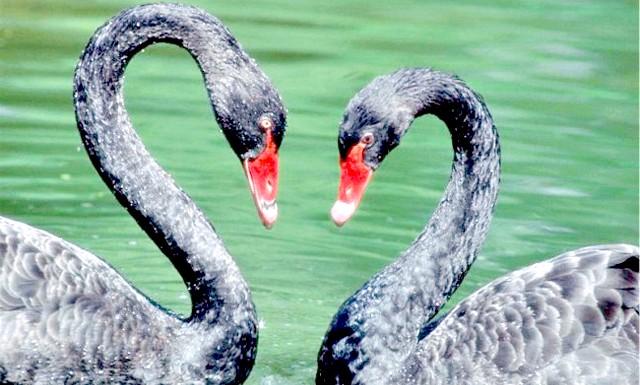 Нетрадиційність чорних лебедів: Все це завдяки тому, що самочка, прикмети таку пару, зазвичай підкрадається і закочує до них в гніздо своє яйце.