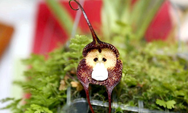 Орхідея з мавпячої мордочкою: Складно повірити, що це зовсім не монтаж і не