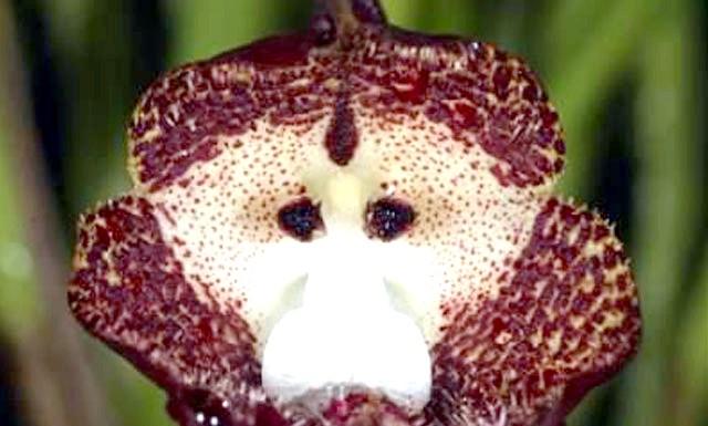 Орхідея з мавпячої мордочкою: Ця орхідея росте виключно в гористій місцевості Еквадору, Колумбії і Перу (Південна Америка) на висоті від 1 до 2 тисяч