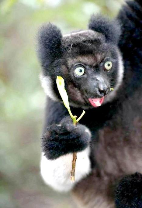 Острів лемурів Мадагаскар: «Лемури - дивовижні тварини, які опинилися за бортом всесвітньої еволюції, завдяки ізоляції Мадагаскару. Ми захотіли розповісти про цю чудесну історії