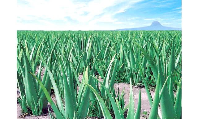 Протипоказання до алое - що необхідно знати: Це невибаглива рослина здавна прижилося на наших підвіконнях і допомагає при лікуванні багатьох недуг. Настоянку і сік алое використовують